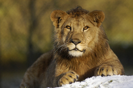 safari game drive: Lion in the snow