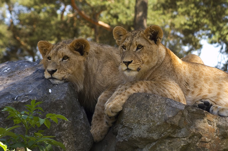 lions rock: Young lions on rock Stock Photo