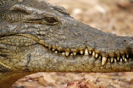 safari game drive: Close up crocodile Stock Photo