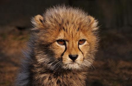 junge nackte frau: Nahaufnahme des jungen Geparden