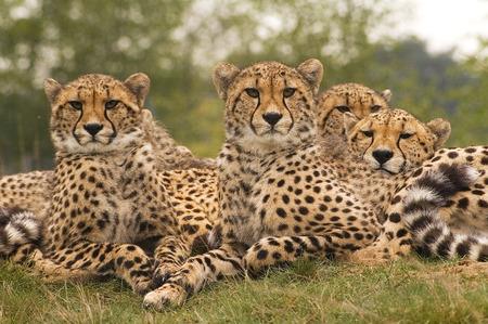 safari game drive: Cheetah family