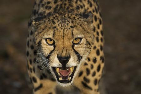 safari game drive: Threatening cheetah Stock Photo