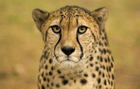 safari game drive: Close up cheetah