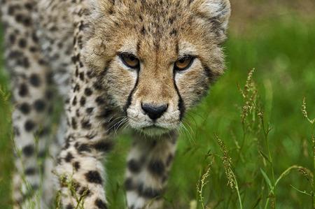 safari game drive: Close up young cheetah