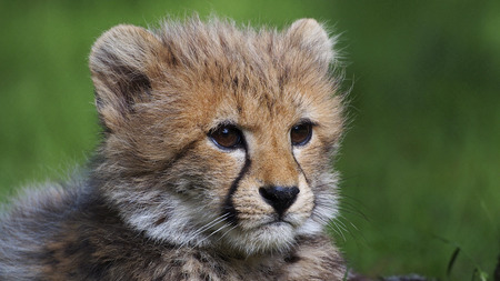 cheetah cub: cheetah cub close up Stock Photo