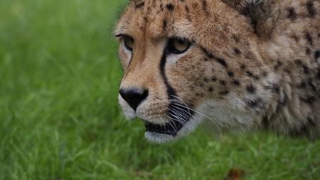stalking: Cheetah stalking