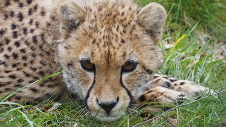 cachorro: Cheetah Cub
