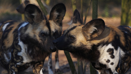 painted dog: African Painted Dog (Lycaon pictus)