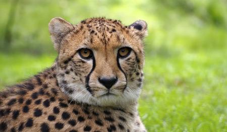 safari game drive: Close up cheetah looking in the lens Stock Photo