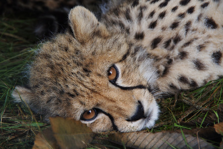 cheetah cub: cheetah cub lying in autumn leaves
