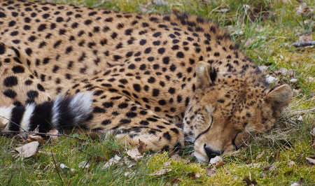 sleeping cheetah stock photo picture and royalty free image image