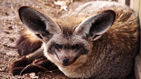 eared: Bat eared fox