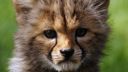Three months old cheetah cub Stock Photo