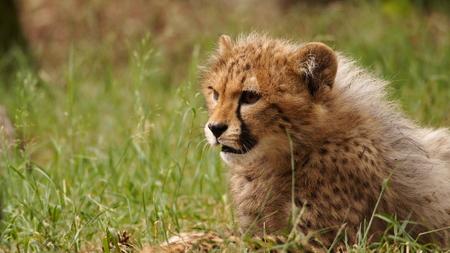 5 months old cheetah cub