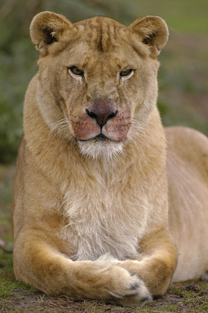 African female lion just after dinner 스톡 콘텐츠