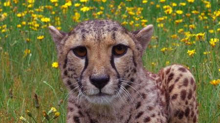 Cheetah lying in yellow flowers