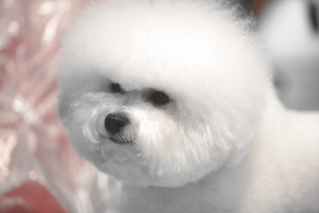 little white Bichon Frise sits and stares into the camera Stock Photo - 13598151