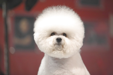 little white Bichon Frise sits and stares into the camera