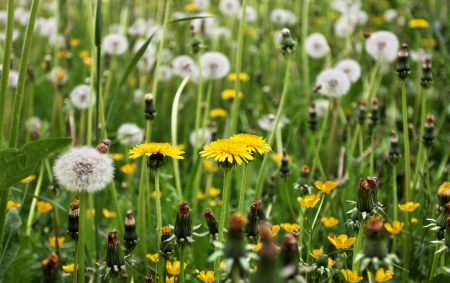 Field of blooming dandelions close up