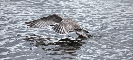 the gray seagull the flying low over the water Stock Photo