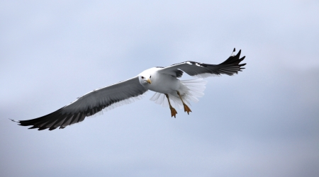 Seagull in gliding in mid-flight against blue sky