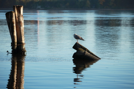 lonely bird: Lonely bird on the morning river Stock Photo
