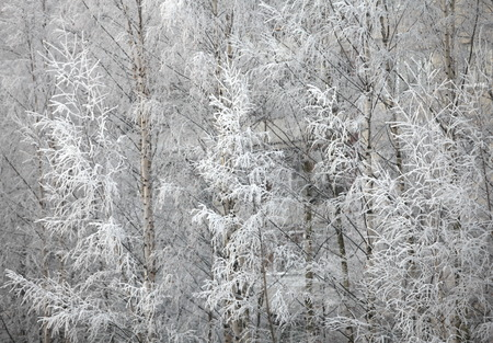 흰 서리: winter Hoarfrost on branches of a tree