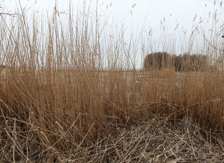 thickets: thickets of dry reeds rustle in the wind