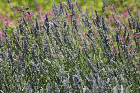 breeze: lavender plants swaying in the breeze  close up Stock Photo