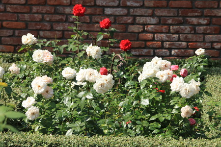 roses  petals: bushes blooming white and red roses in the garden Stock Photo