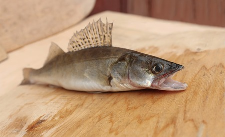 predatory: walleye predatory fish with open mouth on a cutting table