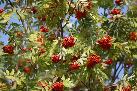 swaying: bunches of red rowan swaying in the wind against a blue sky