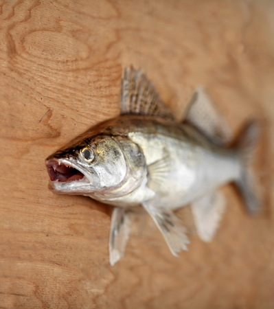 walleye: walleye predatory fish with open mouth