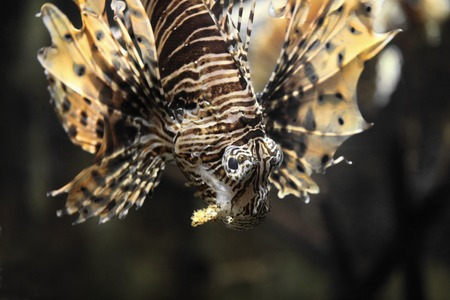 Fish lionfish head down close to
