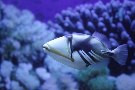 fish Picasso Triggerfish close to Stock Photo