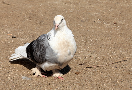 homing: homing pigeon with shaggy paws Stock Photo