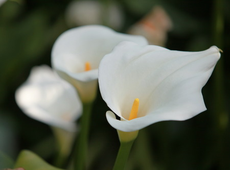 calas blancas: delicadas flores blancas Callas ramo de la boda