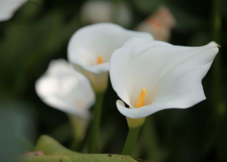 callas: wedding bouquet delicate white flowers callas