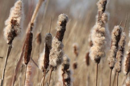 fluff: Cattail with fluff closeup