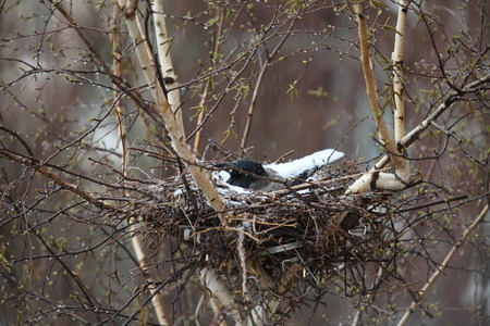 posterity: crow in the nest covered with snow protects the posterity Stock Photo