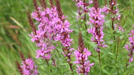 palustre: flower purple crybaby grass