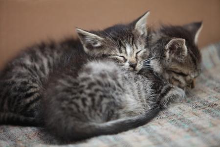 slumber: sleeping little gray kitten close to