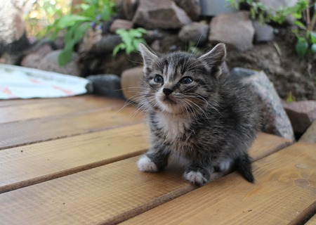 tiny gray kitten with a big mustache