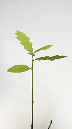 germinate: Young plant of oak seedling from acorn isolated on white Stock Photo