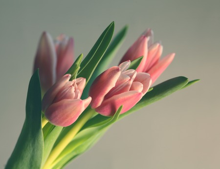 bouquet Beautiful Tulips of gently pink color. Spring time easter