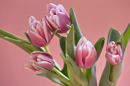 bouquet Beautiful Tulips gently pink color easter Spring time