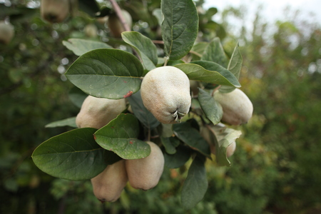 quince fruit hanging branches tree, tart scented sour Stock Photo