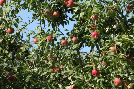 Ripe red  apples hanging tree, apple orchard Stock Photo