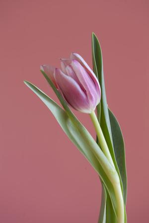 single tulip on  pink background