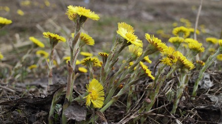 coltsfoot  Yellow primroses tremble in wind early spring